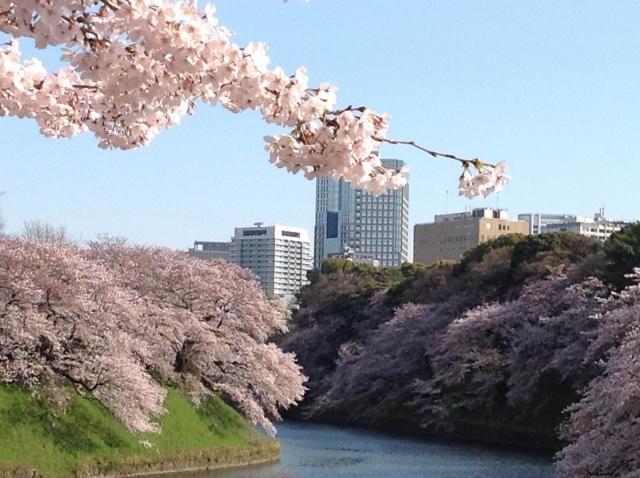 千鳥ヶ淵 桜①